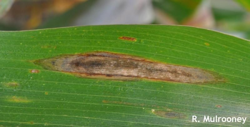 Northern-corn-leafblight