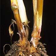 fusarium-spp-root-180x180